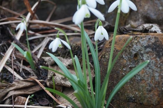 England Snowdrops