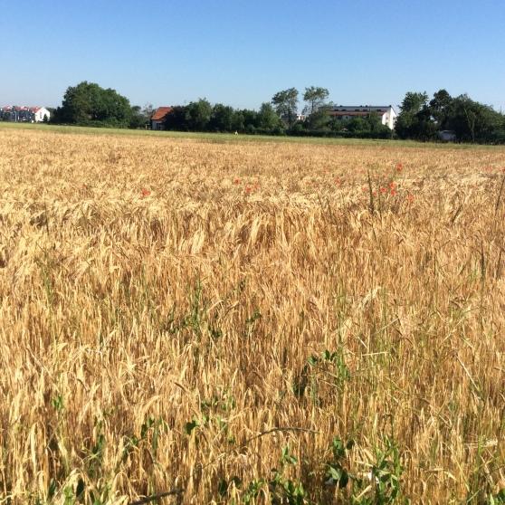 field white